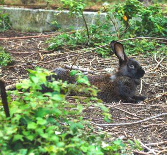 Leporidi-conigli-lepri